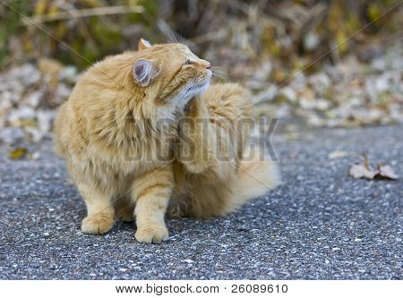 Outdoor orange cat scratching fleas in yard poster