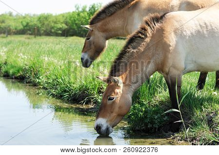 The Horses Of Przewalski. The Horses At The River Drink Water. Horses On The Green Grass Near The Wa