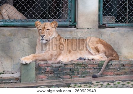 Lion In The Cage, Lion In Thailand
