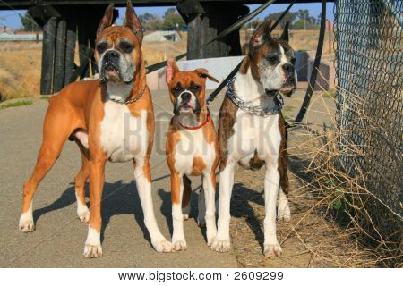 Three Boxer Dogs