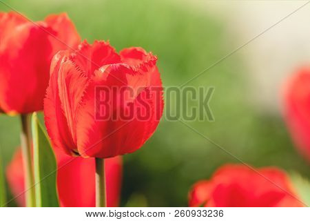Beautiful Red Tulips With Green Leaf In The Garden With Blurred Many Flower As Background Of Red Blo