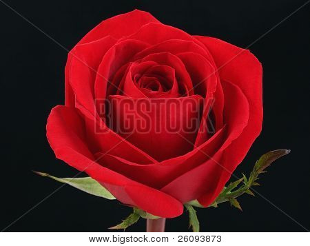 Single red rose against black background.  Shot in studio.