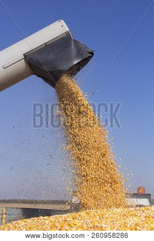Corn Harvest. Corn Falling From Combine Harvester Auger Into Grain Cart. Unloading Auger Pouring Cor