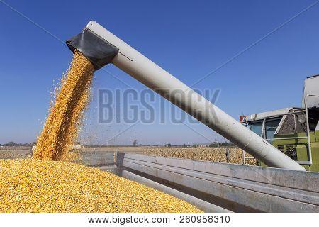 Combine Harvester Unloading Corn Grains. Corn Falling From Combine Harvester Auger Into Grain Cart.