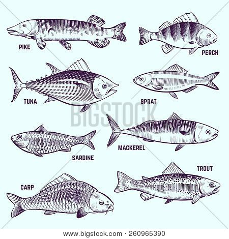 Hand Drawn Fishes. Restaurant Menu Seafood, Salmon, Tuna And Mackerel Sketch Vector Isolated Element