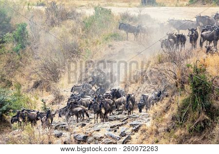 The annual Great Migration of the wildebeest in the Masai Mara, Kenya. Herds gather on the riverbank in preparation to cross.