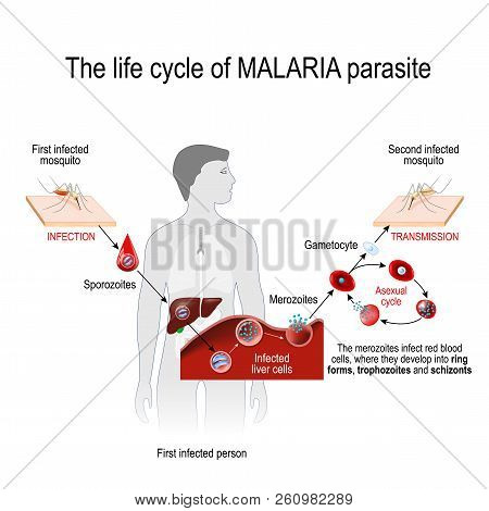 Life Cycle Of A Malaria Parasite (from First Infected Mosquito To Second Infected Person). Malaria I