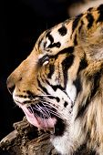 A photo of a tiger licking his lips poster