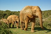 african elephants family walking through bushveld in south africa poster