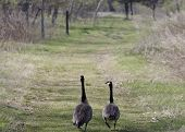 Canada geese strolling through park poster
