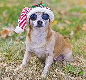 Big-Eyed Chihuahua with christmas hat outside poster