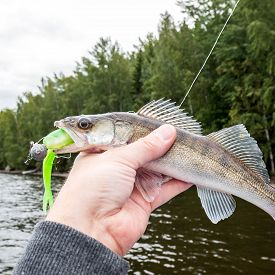 A Small Zander Biting A Green Jig Bait, Fisherman Holding It In Hand