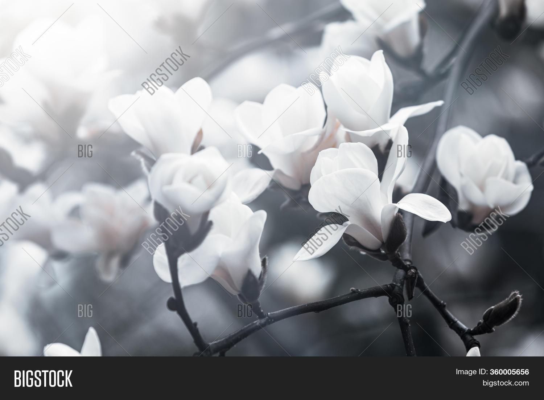 Magnolia Tree Blossom Image Photo Free Trial Bigstock