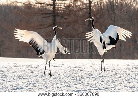 Rhythmic Couple Red-crowned Crane  Or Japanese Crane Symbol Of Eternal Love In Nature Dancing For Co