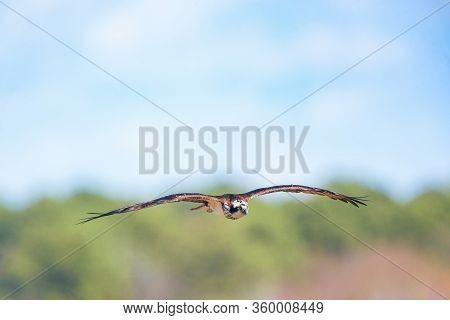 Osprey (pandion Haliaetus) Flying Over Blackwater National Wildlife Refuge. Dorchester County. Maryl