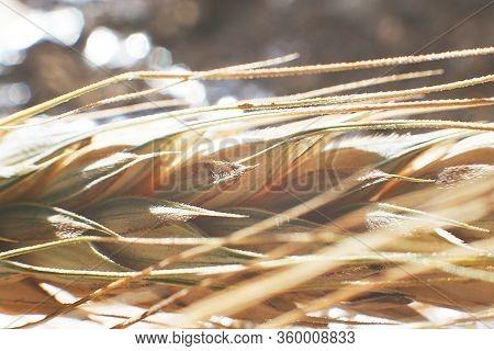 Rye Spike Closeup. Rye Spike On A Silver Background. Rye Ear Macro
