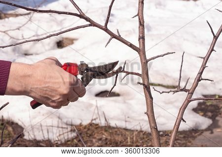 Pruning Apple Trees. A Gardener Prunes Tree Branches With Pruners In The Fall Or Spring. Garden Care