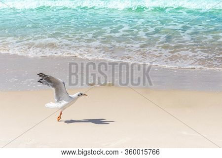 Flying Seagull At Sandy Beach. Gull Spreading Wings On Seashore. Bird Flying Up From Sand Coast By S