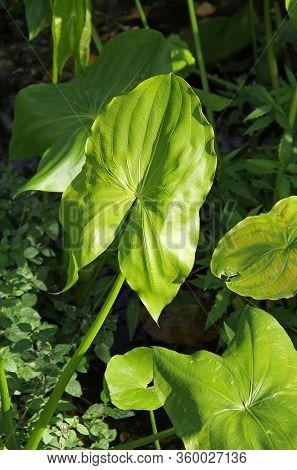 Fresh Green Leaf Of Broadleaf Arrowhead (sagittaria Latifolia)