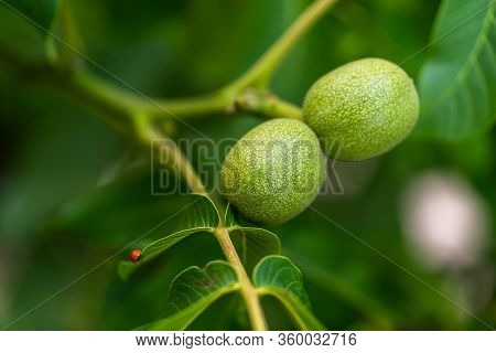 Green Walnut Fruits Hanging On A Branch With Leaves. Walnut Tree With Three Green Nuts. Green Walnut