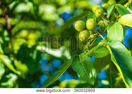 Green Walnut Fruits Among Leaves. Sunny Spring Day. Raw Walnut. Walnuts In A Green Shell.
