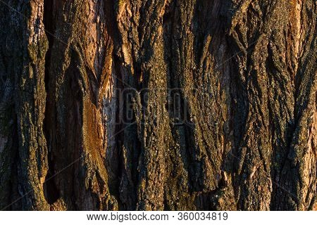 Texture Shot Of Brown Old Tree Bark, Filling The Frame