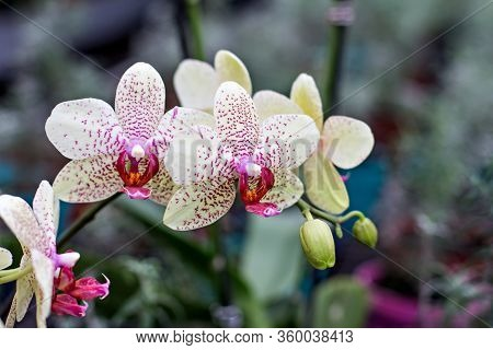 Beautiful Orchid Flower. Beautiful Purple And Yellow Orchid Flower