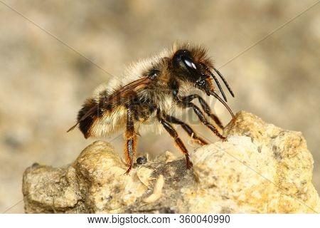 Red Mason Bee, Osmia Rufa, Pollinator On The Soil