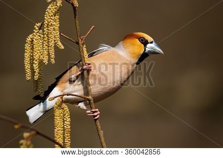 Dominant Hawfinch Male Perched On A Bough In Spring Nature