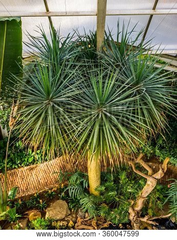 Dragon Tree In A Tropical Garden, Popular Plant Specie With A Vulnerable Status, Native To The Canar