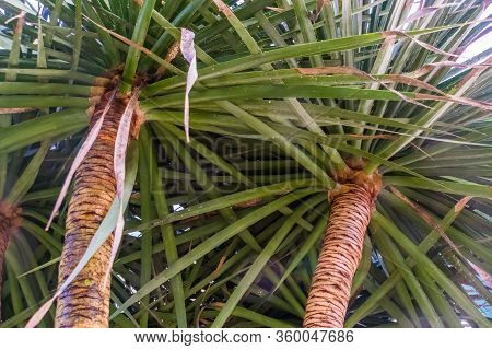 Closeup Of The Trunks And Leaves Of A Dragon Tree, Popular Plant Specie With A Vulnerable Status, Na