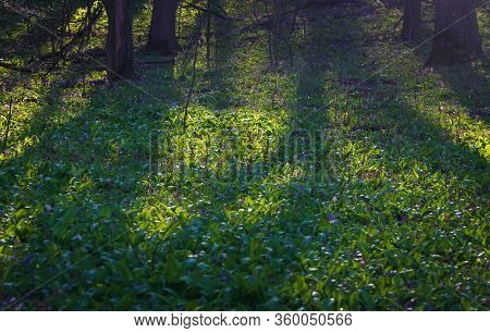 Forest Landscape. Early Summer Morning. The Bright Rays Of The Warm Sun Make Their Way Through The P