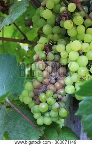 Grapes Disease. Gray Rot On The Grape. Berries Are Infected With Mold. Spoiled Bunch Hanging On A Vi