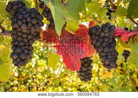 Closeup Of Ripe Cabernet Sauvignon Grapes Growing In Vineyard At Harvest Time