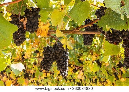 Bunches Of Ripe Pinot Noir Grapes Growing On Vine In Vineyard At Harvest Time