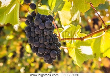 Bunch Of Ripe Pinot Noir Grapes On Vine With Blurred Background And Copy Space