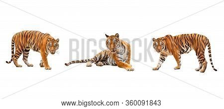 Collection, Royal Tiger (p. T. Corbetti) Isolated On White Background Clipping Path Included. The Ti