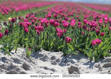 Purple Tulips On Clay Flower Bulb Fields On The Dutch Island Of Goeree-overflakkee Illuminated By Th