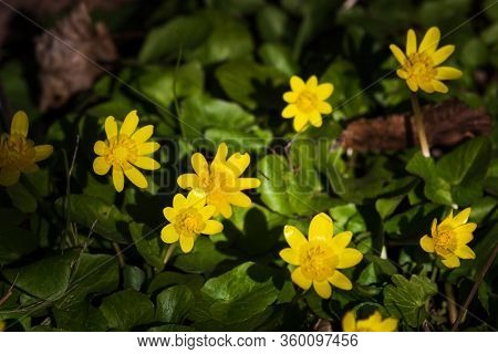 Wild Forest Blooming Yellow Flower On A Background Of Green Spring Grass. Wild Yellow Flower