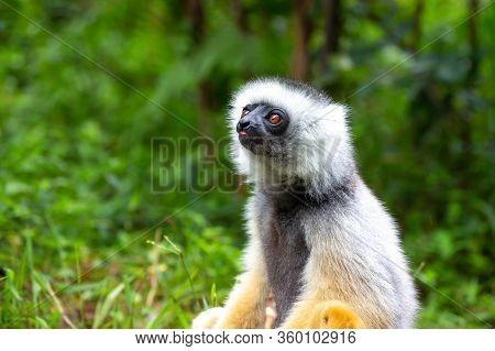 One Sifaka Lemur In The Rainforest On The Island Of Madagascar