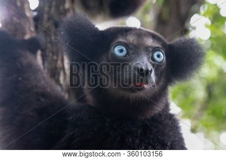 A Portrait Of The Indri Lemurs In A Rainforest In Madagascar