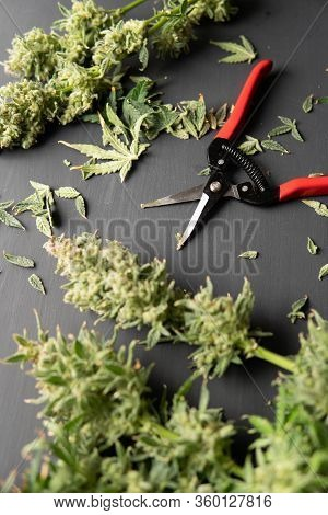 Growers Trim Their Pot Buds Before Drying. Trim Before Drying. Mans Hands Trimming Marijuana Bud. Ha