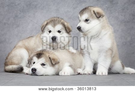 Three Malamute Puppies