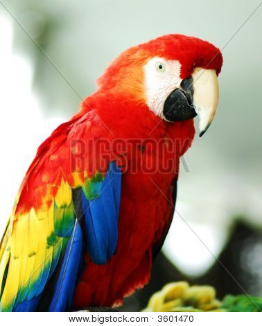 Golden Red Macaw Bird