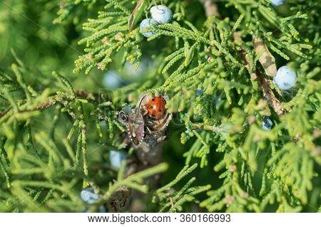 Macro Photograph Of A 7-spot Ladybird Ladybug