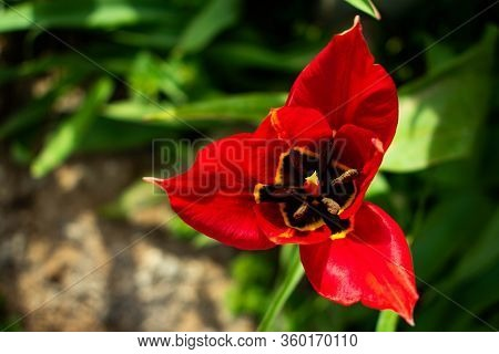 A Beautiful Red Lily Flower In My Backyard.