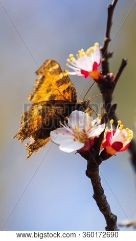 Tiger Butterfly On White Bloom Tree Brench
