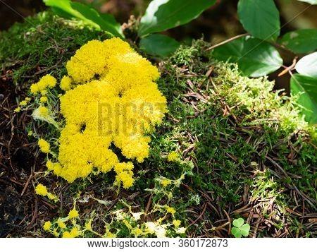 Fuligo Septica - Scrambled Egg Slime, Flowers Of Tan, Yellow Mushroom