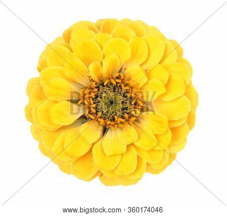 Yellow Zinnia Flower Isolated On White Background