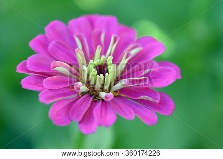 Pink Zinnia Flower Blooming In Garden On Day Time